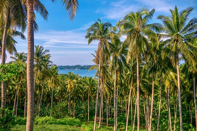 Beautiful coconut palms overlooking the sea.
