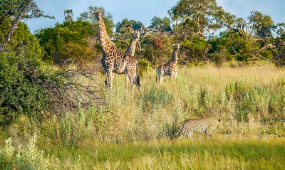 A male leopard moving through long grass near three giraffes, who are watching him with caution and alertness.