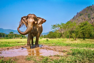 An adult female Asian elephant stands on the edge of a muddy pool, using her trunk to spray a layer of mud onto her skin. Chiang Mai, Thailand.