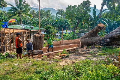 A large old tree cut down and being sawed into lumber material for local house construction in a rural community.