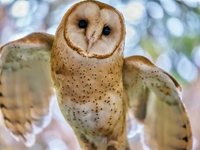 Barn owl taking off...