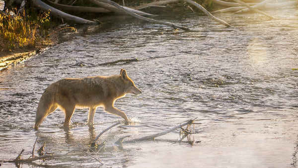 Coyote crossing a stream on a misty morning.