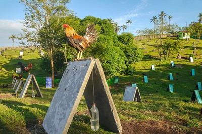 Raising roosters for cockfighting, a popular sport in the Philippines.
