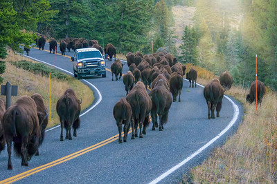 Yellowstone traffic jam.