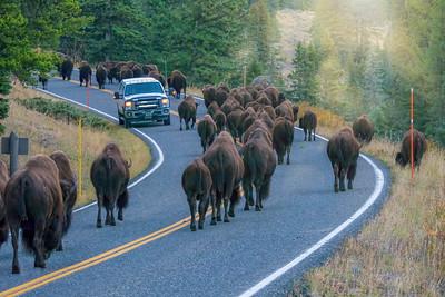 Yellowstone traffic jam.