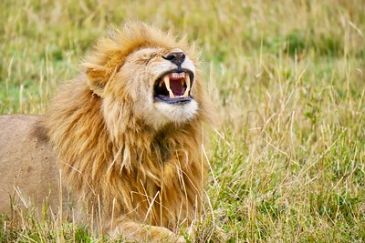 Lion making a funny face with big, mean teeth...