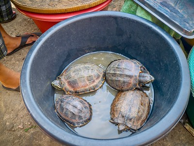 Live, wild freshwater turtles for sale as meat at an outdoor Cambodian food market.
