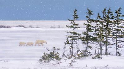 Polar Bears in a Snow Storm