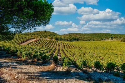 A wide angle view of green, tranquil vineyards cultivated in the undulating hills near Gigondas, Provence, France.