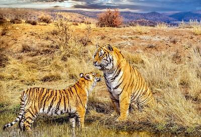 Tiger Greeting.