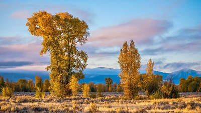 Cottonwood trees in autumn colors...