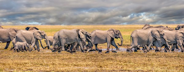 A herd of elephants on the move.