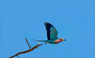The lilac-breasted roller is the national bird of Kenya.