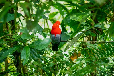 An Andean cock-of-the-rock (Latin: Rupicola peruvianus), with brilliant red-orange plumage, sitting in its natural habitat in the Peruvian rainforest. It is the national bird of Peru.