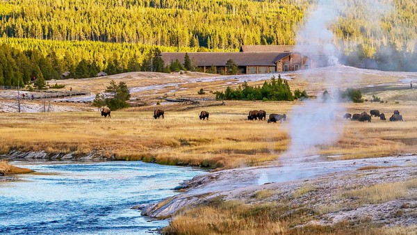 The Upper Geyser Basin at Yellowstone National Park, where herds of bison graze near the Old Faithful Inn, steaming hotsprings, and the pedestrian boardwalk.