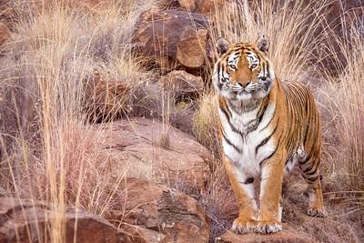 Tigress looking at the camera.