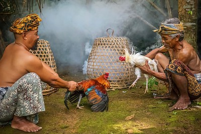 Cockfighting in Bali