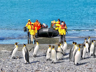 A group of king penguins (aptenodytes patagonicus) on a South Atlantic beach appear relaxed and unafraid as tourists arrive in an inflatable boat.
