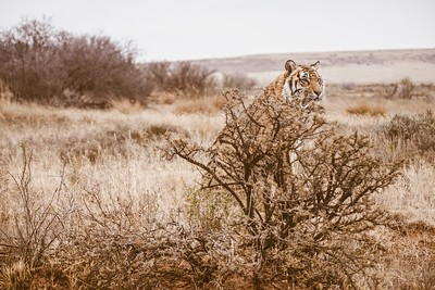 Camouflage. A tiger's color and stripes can help it blend into its environment.