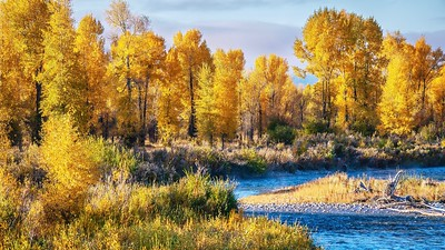 Cottonwood trees in autumn.