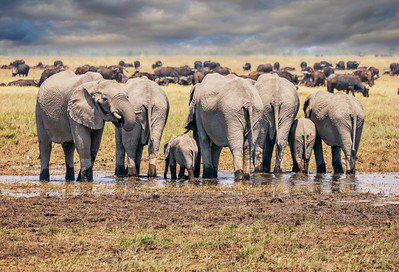 A herd of thirsty elephants, including a cute baby.