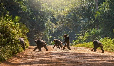 Chimpanzee walking like a human across a road.