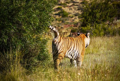 Showing tiger (Panthera tigris) social behavior, as an adult sprays a bush with its scent, to mark the boundary of his territory.