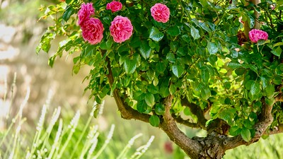 Pretty pink roses on a topiary bush in a summer garden, with luminous backlighting.
