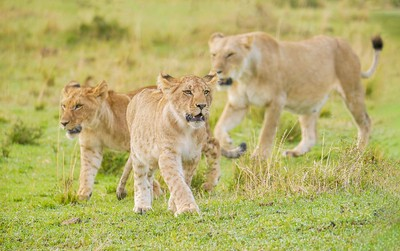 A well fed male lion cub looks strong and fierce as he marches ahead of his brother and mother.