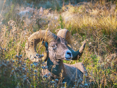 Portrait of an American bighorn sheep ram.