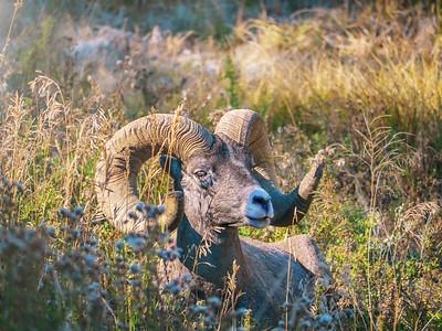 Portrait of an American bighorn sheep ram.
