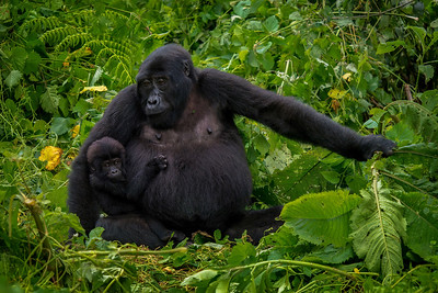 Mother and baby mountain gorilla.