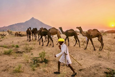 Camels on the move. Being moved for the night at the Pushkar Camel Fair.