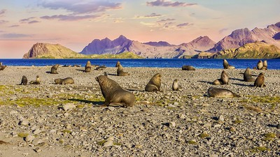 A beautiful nature scene on the remote South Georgia Island, with Antarctic fur seals on a coastal beach, with dramatic mountains and a sunset sky in the background.