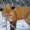 Foxy Lady III