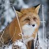 Foxy Lady VI