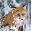 Foxy Lady IV