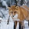 Foxy Lady II