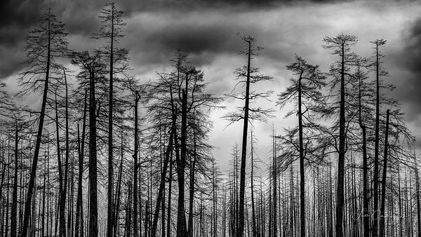 09.23.2020 Blackened Trees