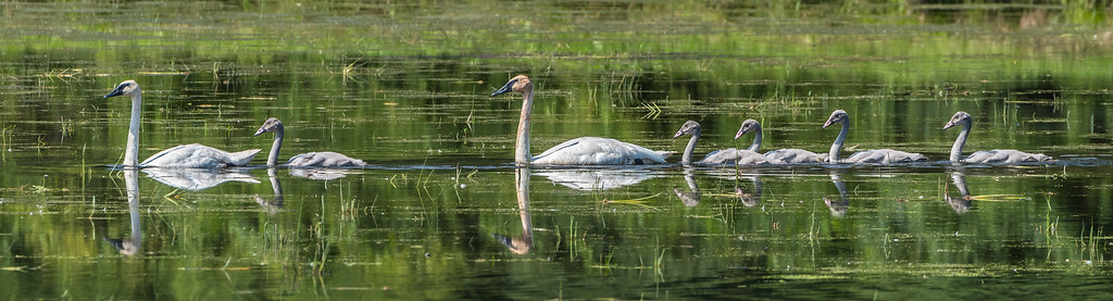Trumpeter Swan Family. Whitewater River backwater near Alba MN.