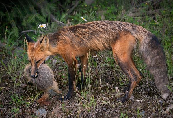 07.06.2020 Red Fox