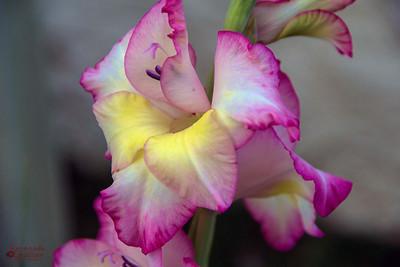 pink daffodil 2-9845