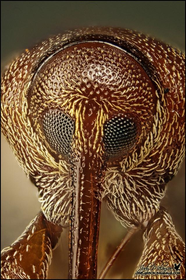 Weevil 42