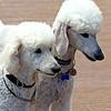 ZO 90 Two Poodles