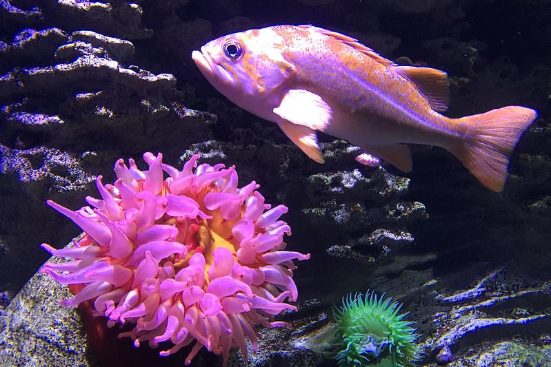 Fi 3 Copper Rockfish