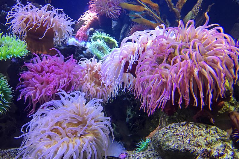 Fi 4 Giant Sea Anemones