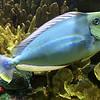 Fi 2 Bignose unicornfish