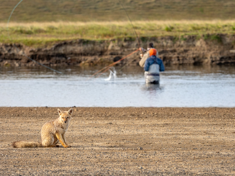 No Worries - Fly Fisher and Fox Hanging Out and Doing Their Own Thing