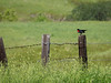 Red-Winged Blackbird Perched on Post and Singing