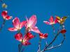 Back-Lit Blossoming Pink Dogwoods